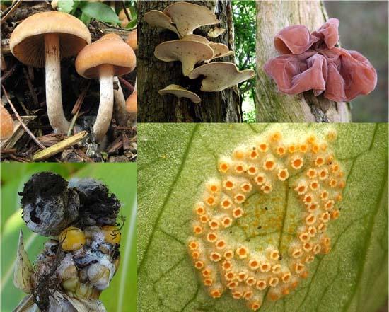 Basidiomicetos: características, nutrição, habitat e reprodução 1