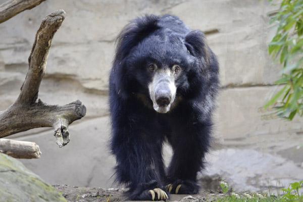 Urso bezudo: características, alimentação, reprodução 1