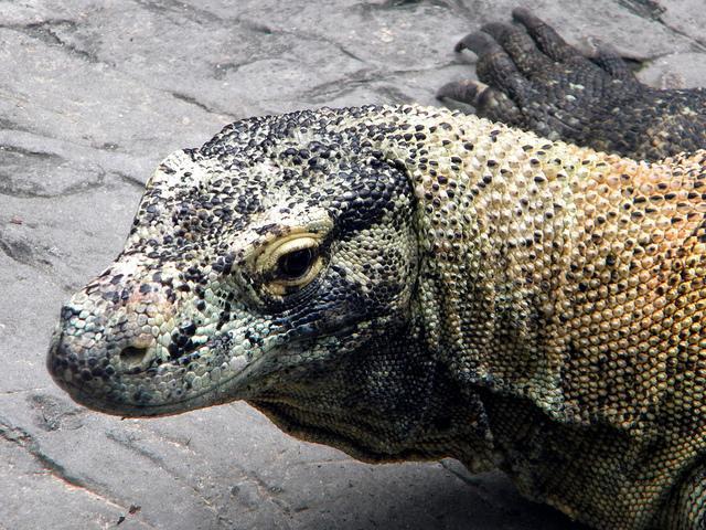 Dragão de Komodo: Recursos, velocidade e alimentação 2