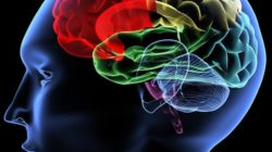 Cérebro: partes, funções e doenças 55