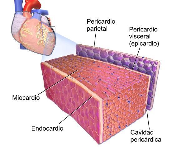 Quais são as camadas do coração? 2