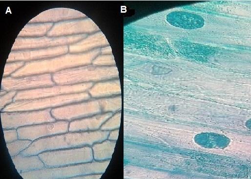 Epiderme de cebola: observação microscópica, organização 1