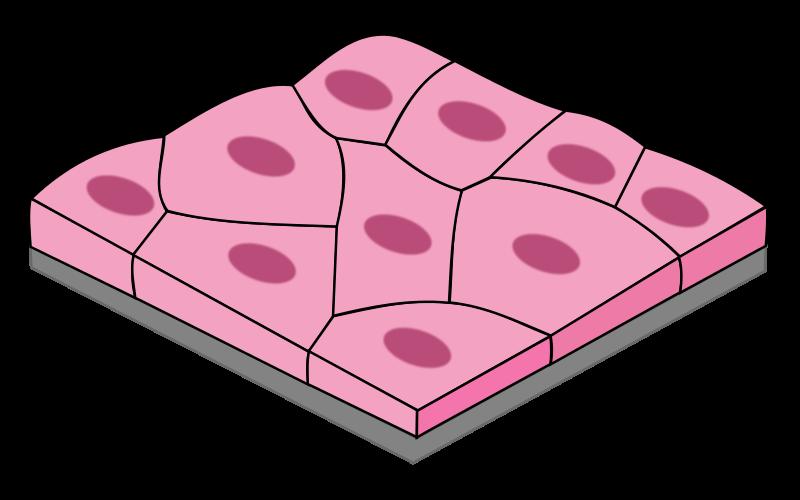 Epitélio plano simples: características, funções e tipos 1