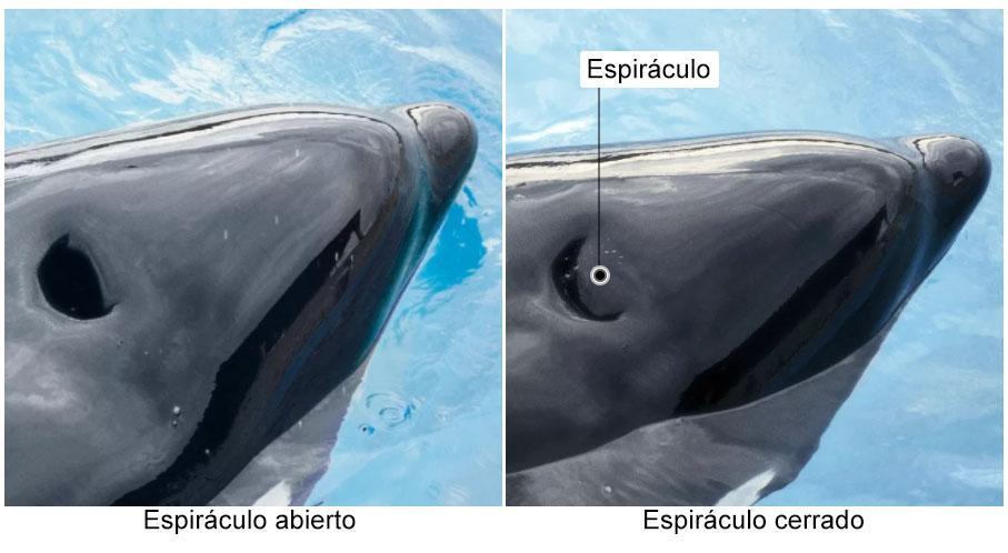 Como as baleias respiram? 3