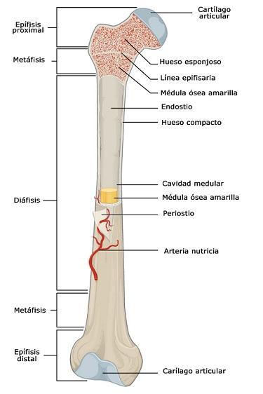 Osso esponjoso: características, funções e histologia 2
