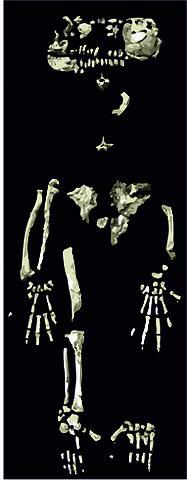 Ardipithecus ramidus: características, crânio, alimentação 2