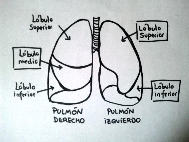 Quais são os lobos pulmonares? 1