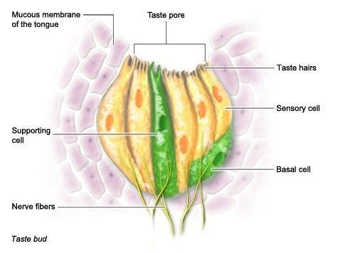 Senso de gosto: tipos de sabores, receptores e percepção 6