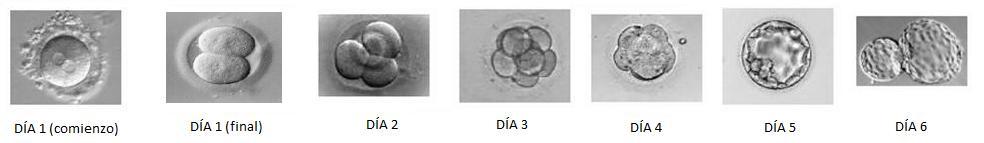 Desenvolvimento embrionário e fetal: estágios e características 2