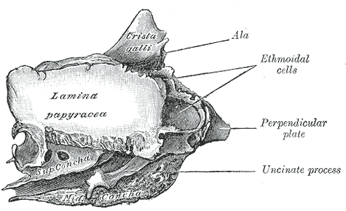 Osso etmoidal: características, partes, funções 3