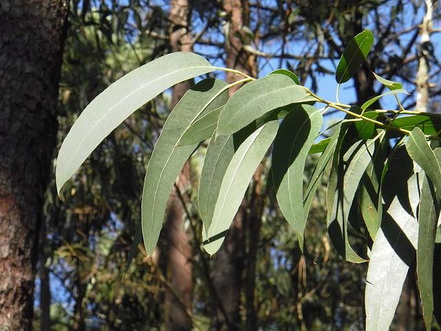 Eucalyptus globulus: características, habitat, importância e usos 4