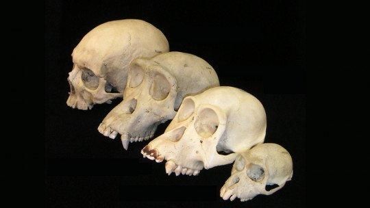 A evolução do cérebro humano: é assim que ele se desenvolveu em nossos ancestrais 1