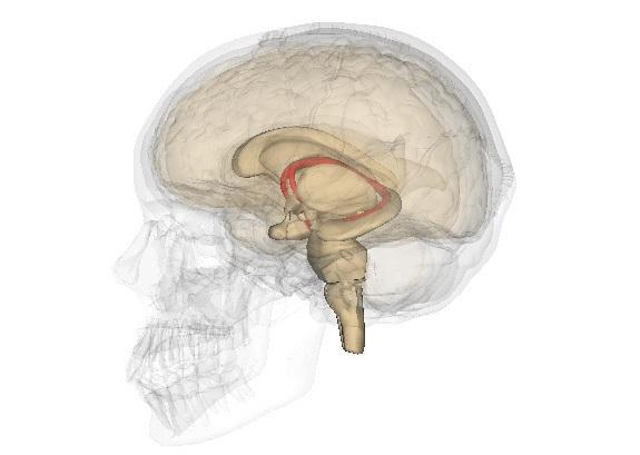 Fórnix: características, anatomia e funções