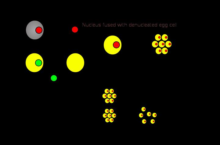 Clonagem humana: métodos, etapas, vantagens, desvantagens 1