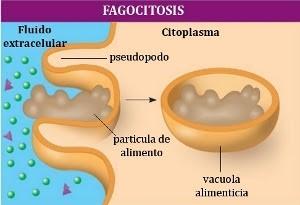 O que é fagocitose? 2