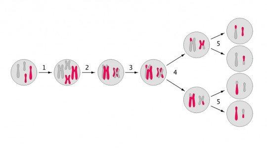 As 8 fases da meiose e como o processo se desenvolve 1