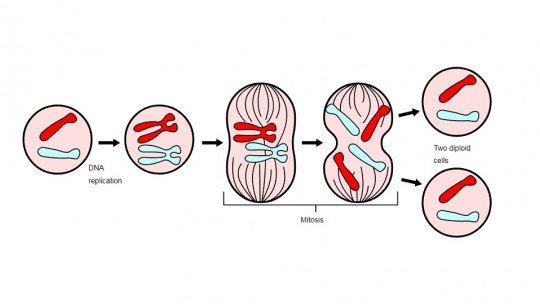 As 4 fases da mitose: isso duplica a célula 1