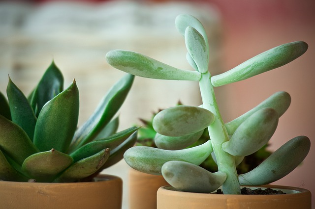 Crassulaceae: características, espécies, cuidados, doenças 8