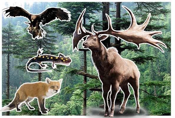 Florestas Coníferas: Características, Flora, Fauna, Clima 4