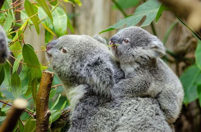 Coala: características, habitat, reprodução, comida 7