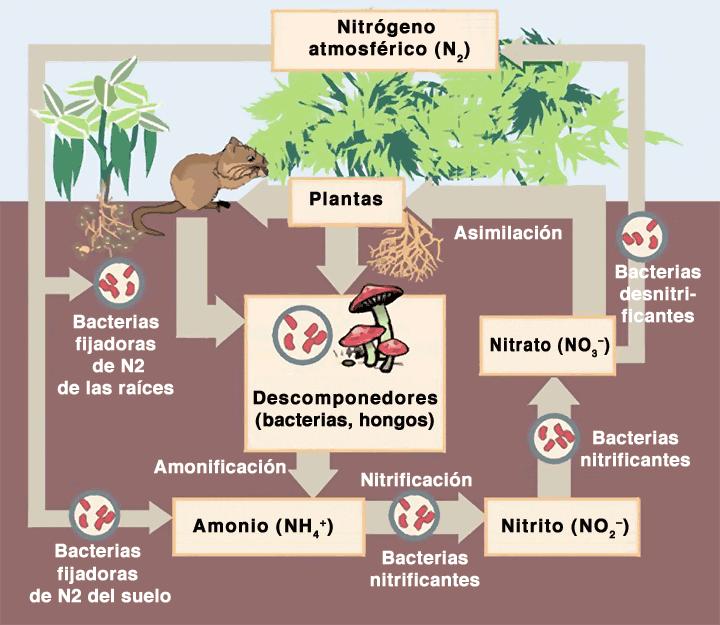 Fixação de nitrogênio: processos bióticos e abióticos 1
