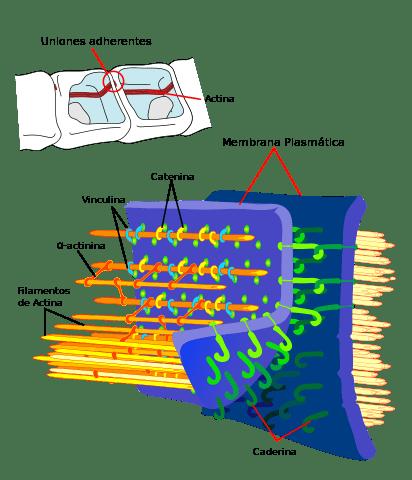 Tipos de células: Procariontes e eucariotos (com imagens) 14
