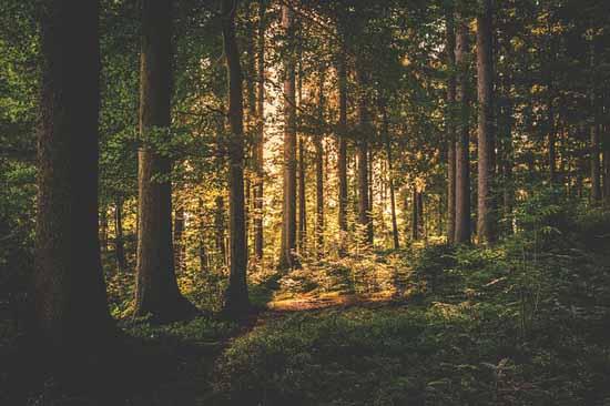 Florestas Coníferas: Características, Flora, Fauna, Clima 3