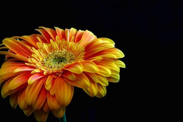 Asteraceae: características, habitat, espécies e usos 1