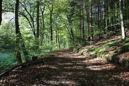 Encinos ou carvalhos (gênero Quercus): características, usos, espécies 3