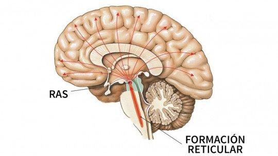 Formação reticular: características, funções e doenças associadas 1