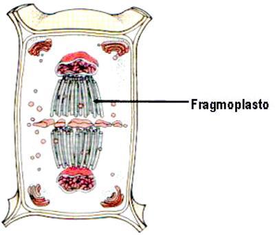 Fragmoplastos: características, funções, composição 1