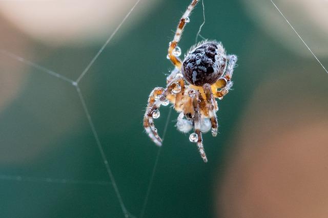 Aranha de jardim: características, habitat, reprodução 5