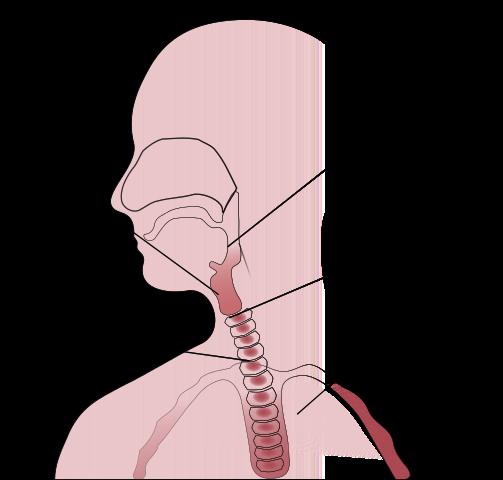 Sistema respiratório: funções, partes, funcionamento 3