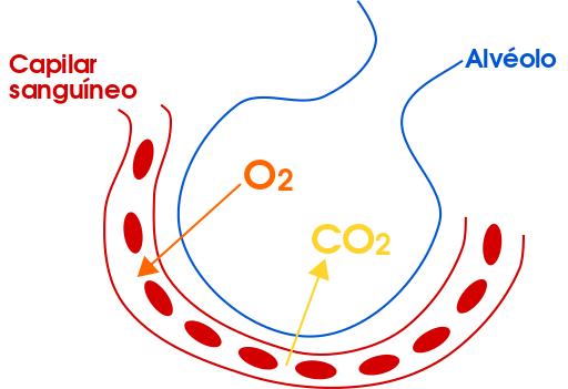 Alvéolos Pulmonares: Características, Funções, Anatomia 3
