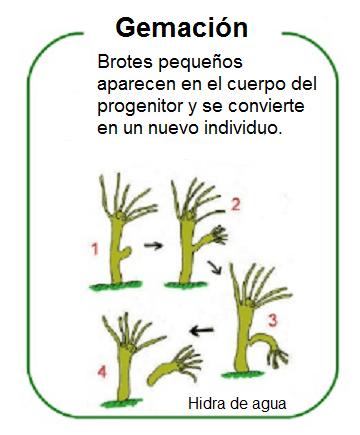 Qual é a brotação em plantas e animais? 1