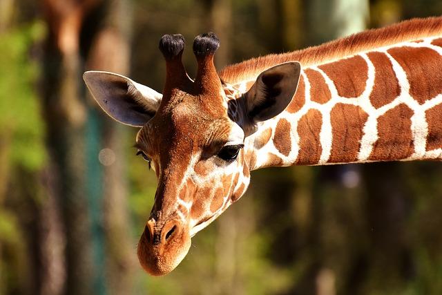 Girafa: características, habitat, reprodução, alimentação 4