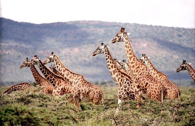 Girafa: características, habitat, reprodução, alimentação 2