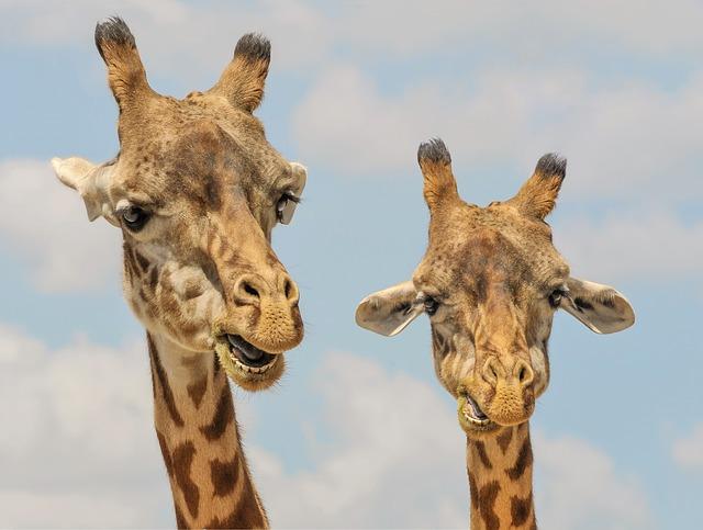 Girafa: características, habitat, reprodução, alimentação 3