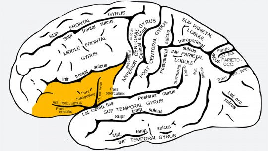 Giro frontal inferior do cérebro: suas características e funções 1