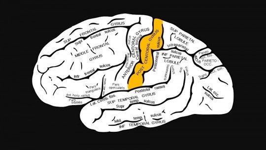 Giro pós-central: características e funções desta área do cérebro 1