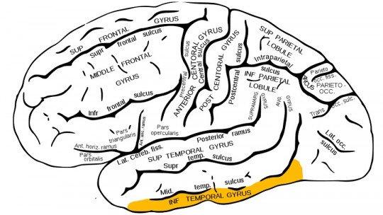 Rotação temporal inferior: características e funções 1