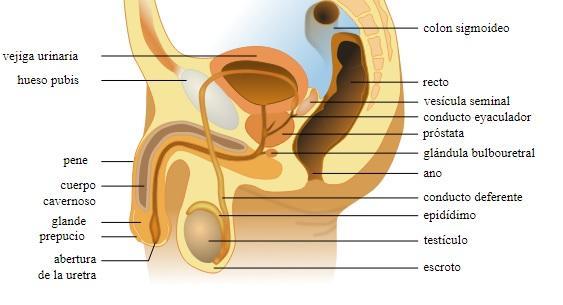 O que são as Glândulas Cowper? (Glândulas bulboretrais) 8
