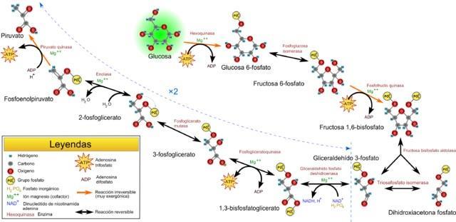 Catabolismo: funções e processos catabólicos 3