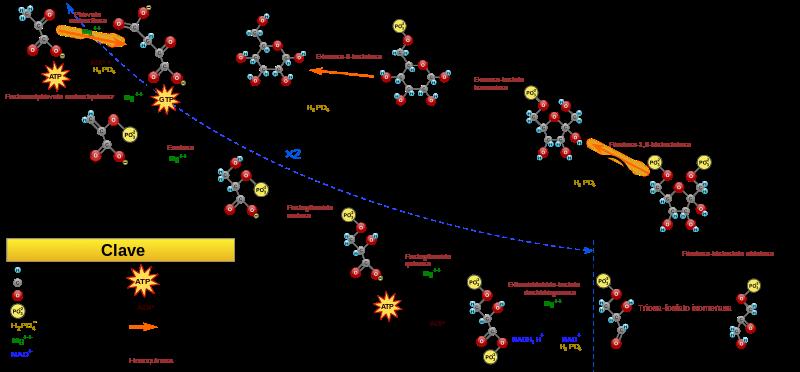 Gliconeogênese: estágios (reações) e regulação 3