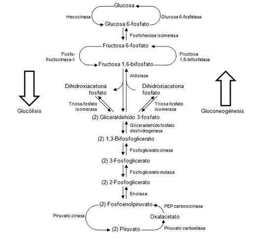 Respiração aeróbica: características, estágios e organismos 2