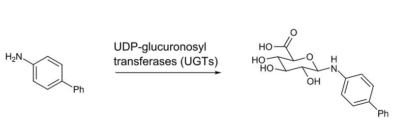 O que é glucuronidação e ácido glucurônico? 2