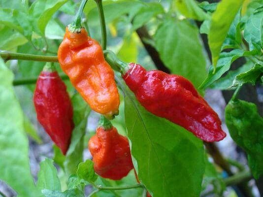 Pimenta: características, cultivo e usos 1