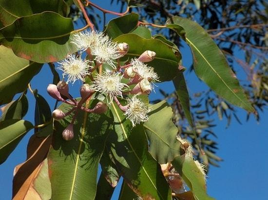Myrtaceae: características, habitat, taxonomia e classificação 3