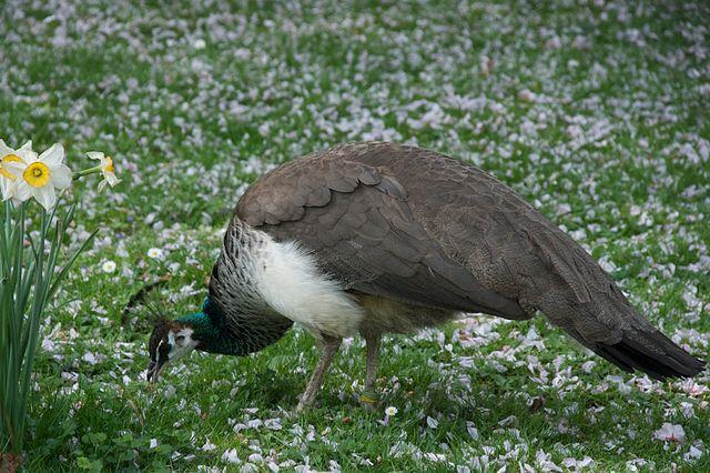 Pavão: origem, características, habitat, reprodução 2