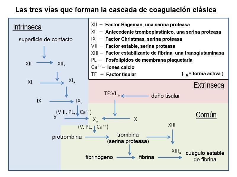 Hemostasia: fisiologia, estágios, testes, alterações 2